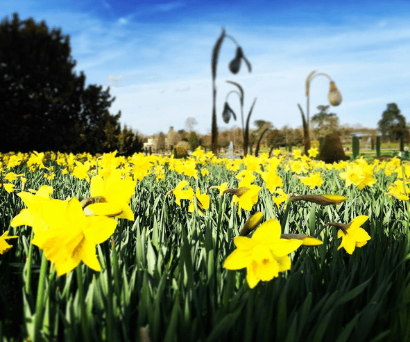 Daffodils at Trentham Garden on Jenography
