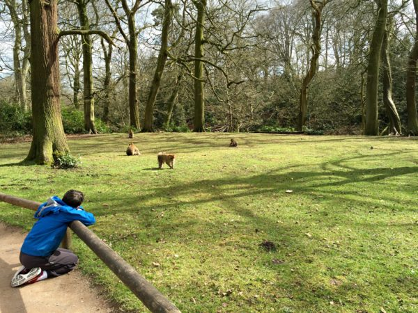 A boy looking at monkey at Trentham Monkey Forest