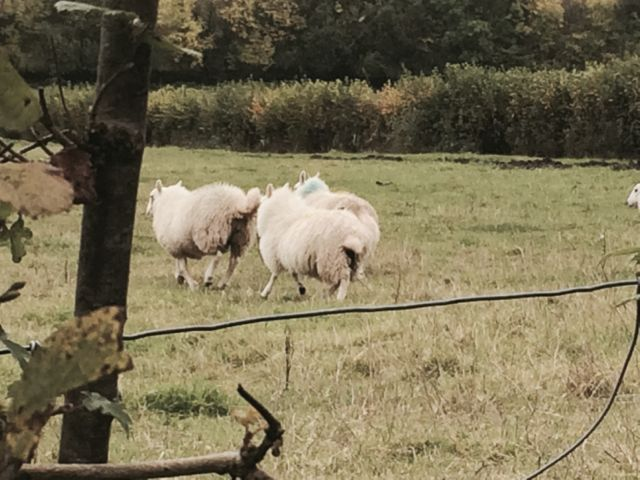 sheep on walk Cefn Barn