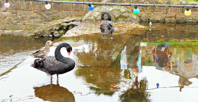 black swans in Dawlish - Jenography